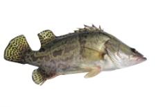 鲫花鱼图片