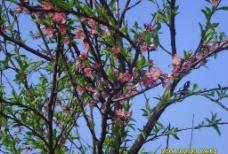 春色桃花图片