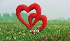 心连心玫瑰花海图片