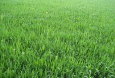绿色的麦田图片