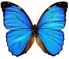 蓝色梦幻蝴蝶图片