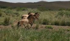 新疆普式野马图片