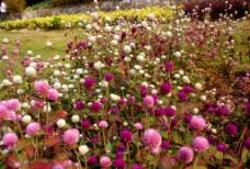 粉红和白色的鸡冠花图片