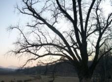 老树与天空图片