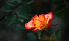 橘玫瑰图片