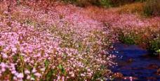 小溪边的野花图片