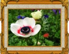 银莲花(白色花)图片