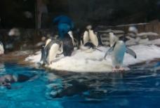 一群小企鹅图片