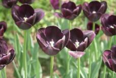 黑色郁金香图片