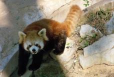 小熊猫 RedPanda图片