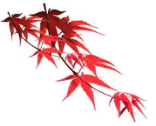 漂亮的枫叶1图片
