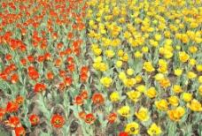 节日花卉图片